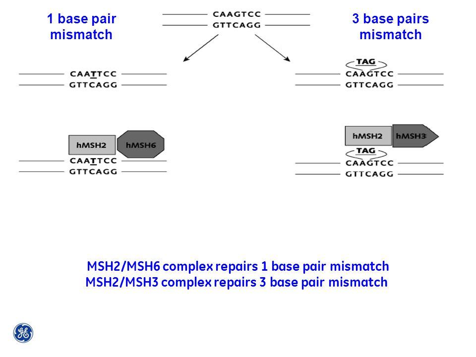 1 base pair mismatch 3 base pairs mismatch MSH2/MSH6 complex repairs 1 base pair mismatch MSH2/MSH3 complex repairs 3 base pair mismatch
