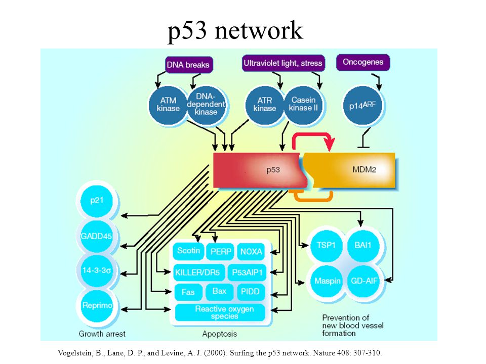 p53 network Vogelstein, B., Lane, D.P., and Levine, A.