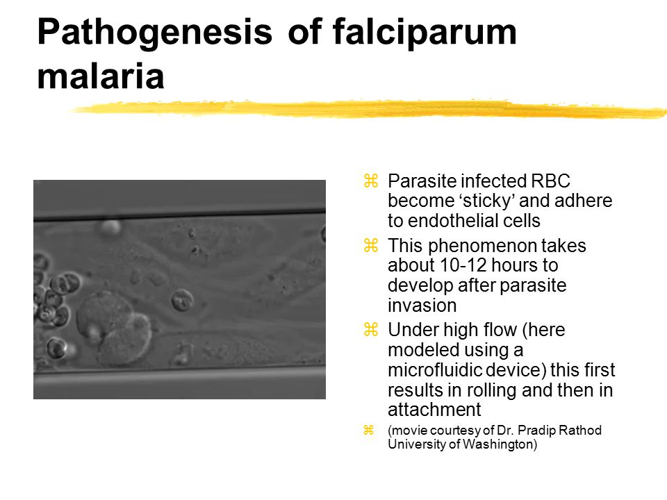 Pathogenesis of falciparum malaria zParasite infected RBC become 'sticky' and adhere to endothelial cells zThis phenomenon takes about 10-12 hours to develop after parasite invasion zUnder high flow (here modeled using a microfluidic device) this first results in rolling and then in attachment z(movie courtesy of Dr.