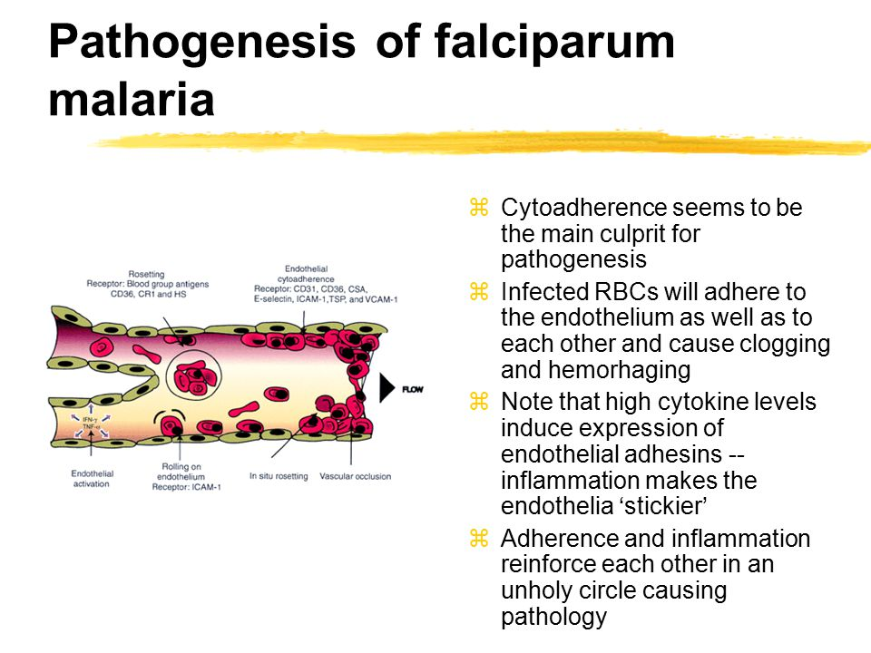 Pathogenesis of falciparum malaria zCytoadherence seems to be the main culprit for pathogenesis zInfected RBCs will adhere to the endothelium as well as to each other and cause clogging and hemorhaging zNote that high cytokine levels induce expression of endothelial adhesins -- inflammation makes the endothelia 'stickier' zAdherence and inflammation reinforce each other in an unholy circle causing pathology