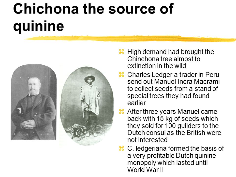 Chichona the source of quinine zHigh demand had brought the Chinchona tree almost to extinction in the wild zCharles Ledger a trader in Peru send out