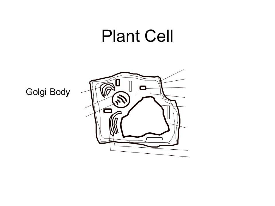 Golgi Body