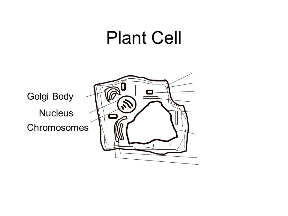 Plant Cell Golgi Body Nucleus Chromosomes