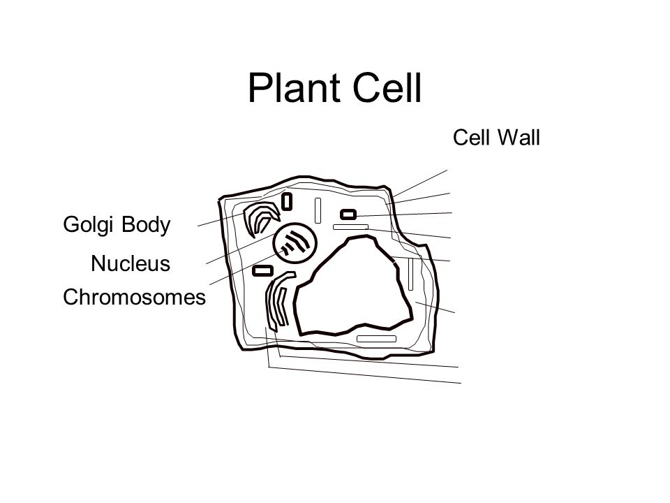 Plant Cell Golgi Body Nucleus Chromosomes Cell Wall