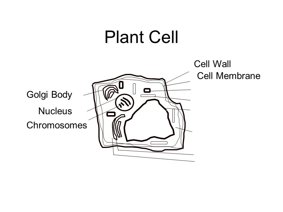 Plant Cell Golgi Body Nucleus Chromosomes Cell Wall Cell Membrane