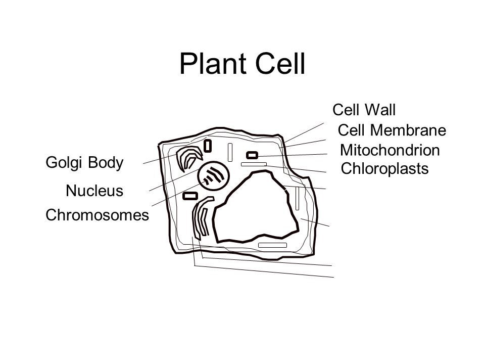 Plant Cell Golgi Body Nucleus Chromosomes Cell Wall Cell Membrane Mitochondrion Chloroplasts