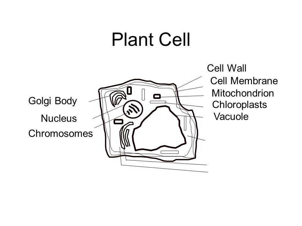 Plant Cell Golgi Body Nucleus Chromosomes Cell Wall Cell Membrane Mitochondrion Chloroplasts Vacuole