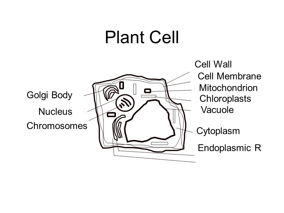Plant Cell Golgi Body Nucleus Chromosomes Cell Wall Cell Membrane Mitochondrion Chloroplasts Vacuole Cytoplasm Endoplasmic R