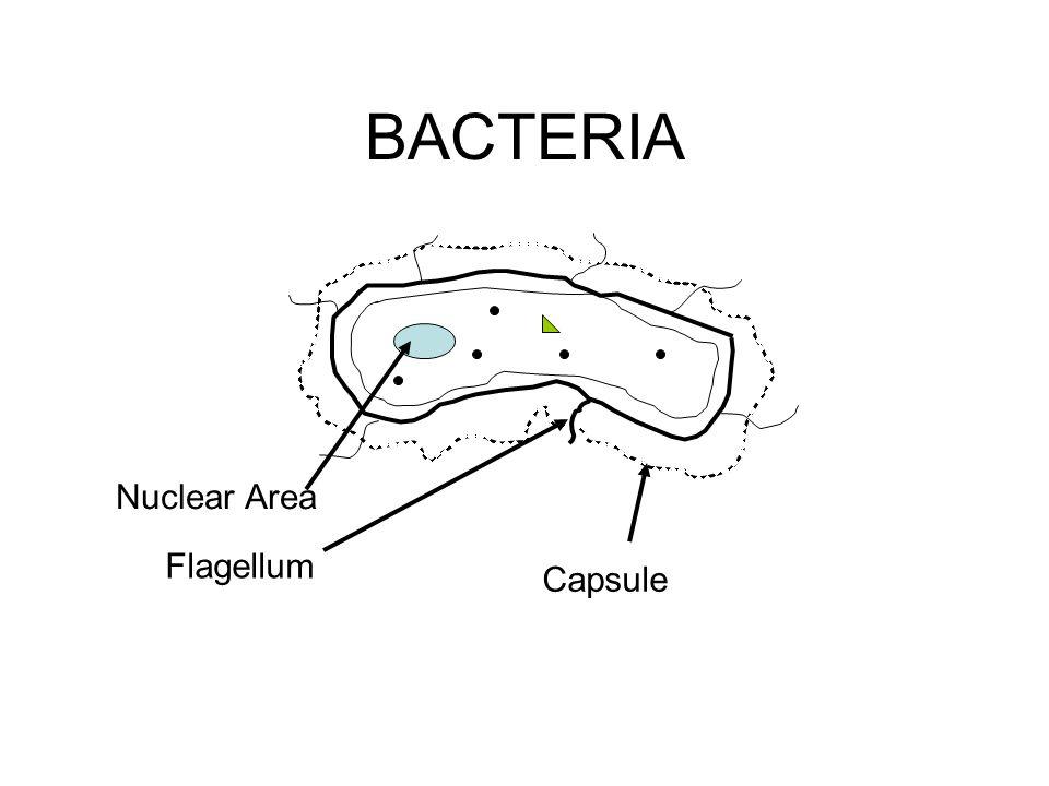 BACTERIA Nuclear Area Flagellum Capsule