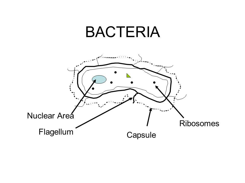 BACTERIA Nuclear Area Flagellum Capsule Ribosomes