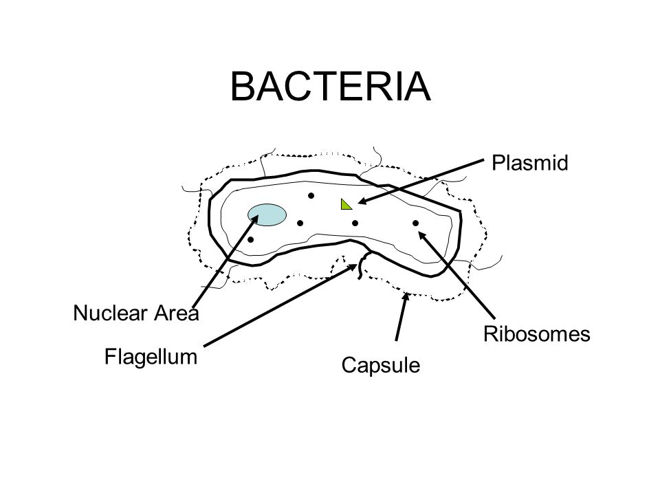 BACTERIA Nuclear Area Flagellum Capsule Ribosomes Plasmid