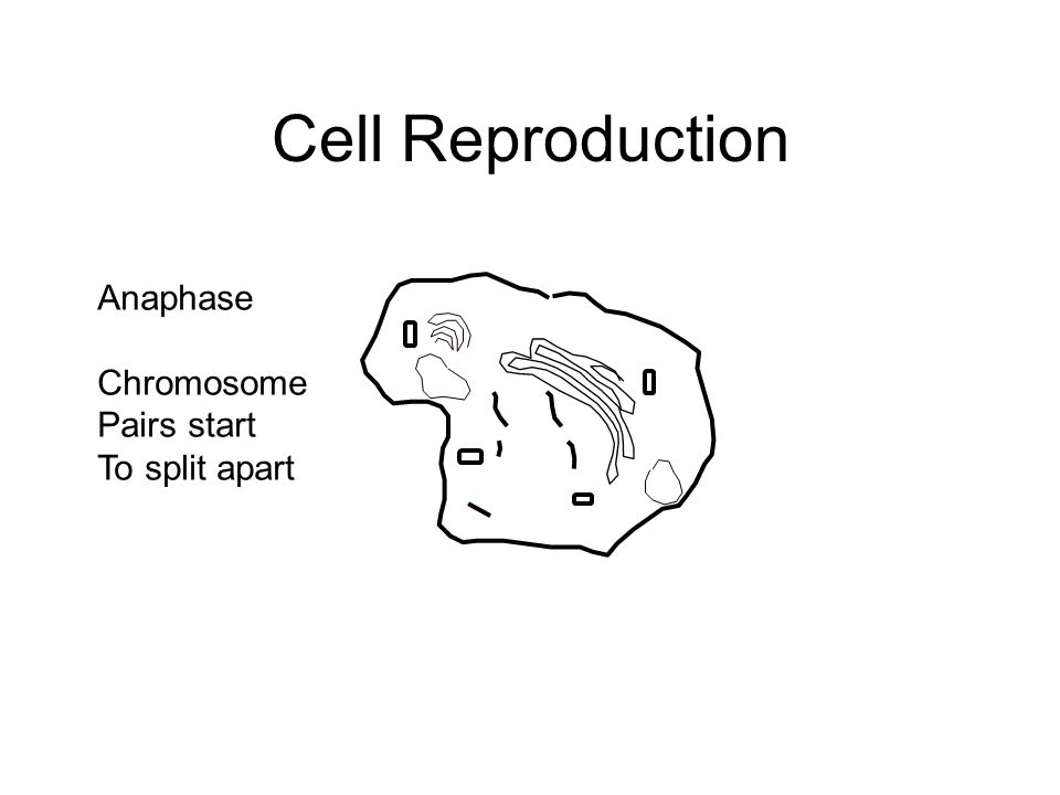 Cell Reproduction Anaphase Chromosome Pairs start To split apart