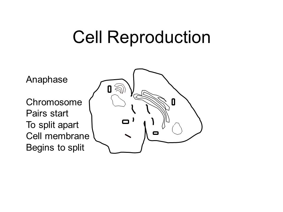 Cell Reproduction Anaphase Chromosome Pairs start To split apart Cell membrane Begins to split