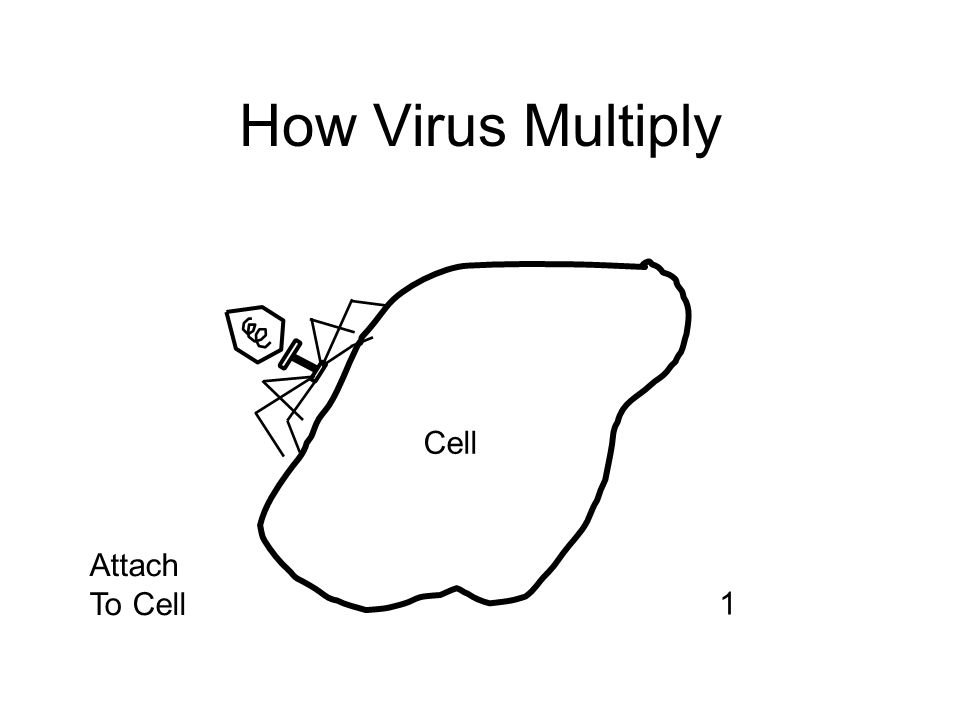 How Virus Multiply Cell Attach To Cell 1