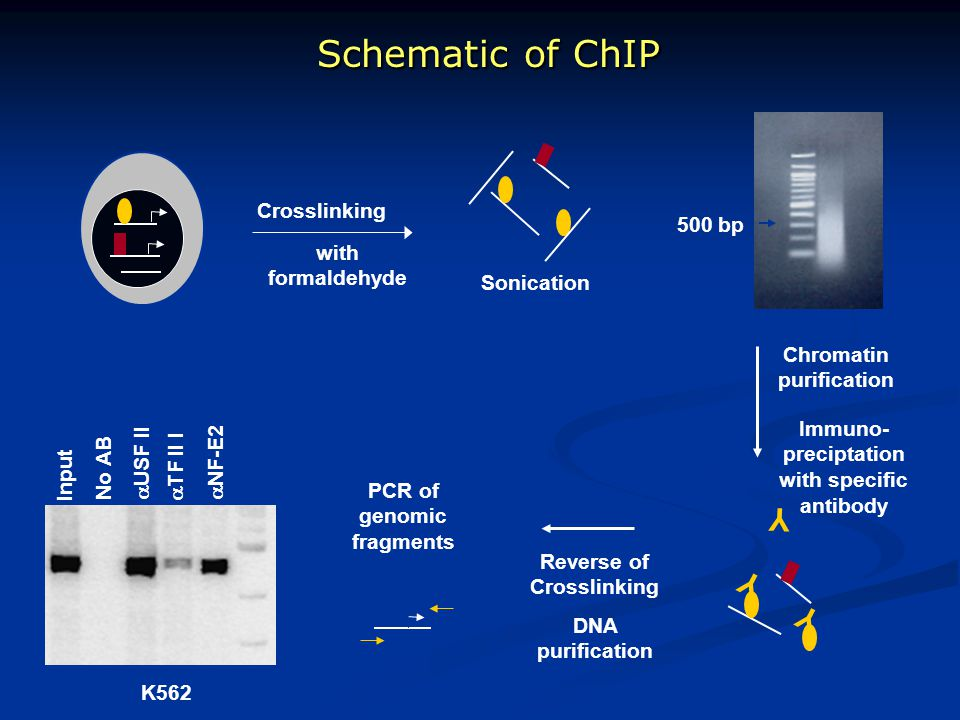 Schematic of ChIP Immuno- preciptation with specific antibody Chromatin purification Reverse of Crosslinking DNA purification PCR of genomic fragments