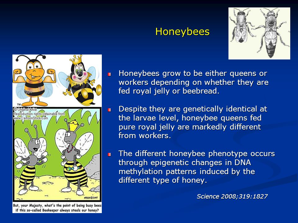 Honeybees Honeybees grow to be either queens or workers depending on whether they are fed royal jelly or beebread. Despite they are genetically identi