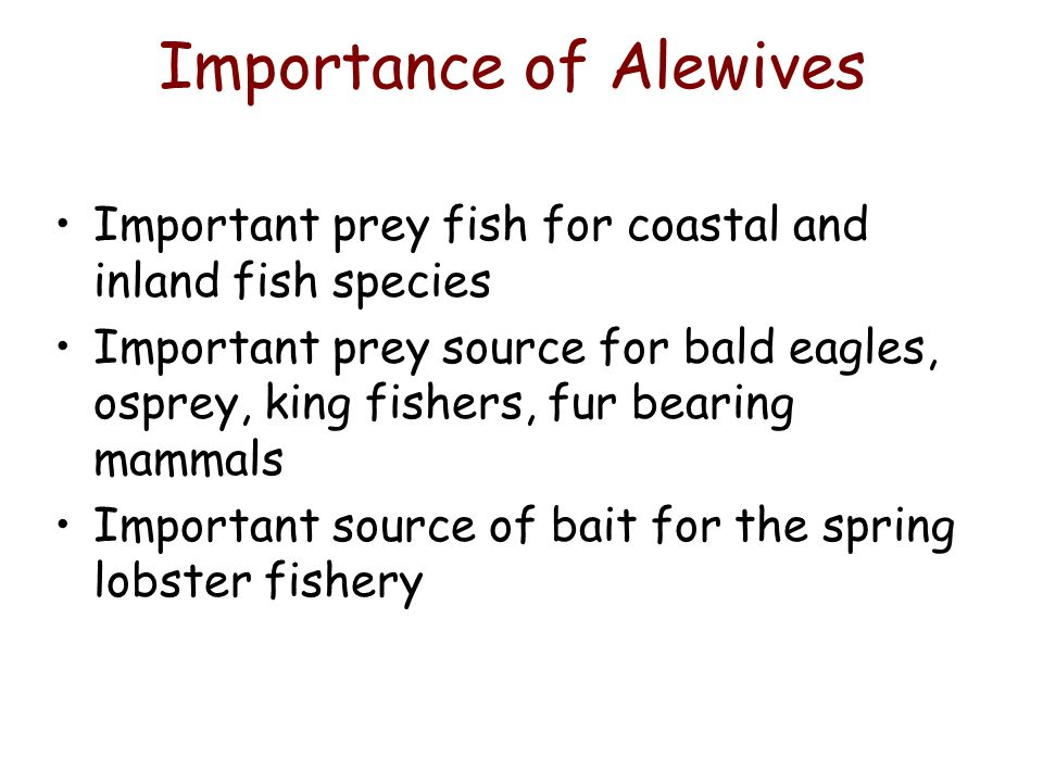 Importance of Alewives Important prey fish for coastal and inland fish species Important prey source for bald eagles, osprey, king fishers, fur bearing mammals Important source of bait for the spring lobster fishery