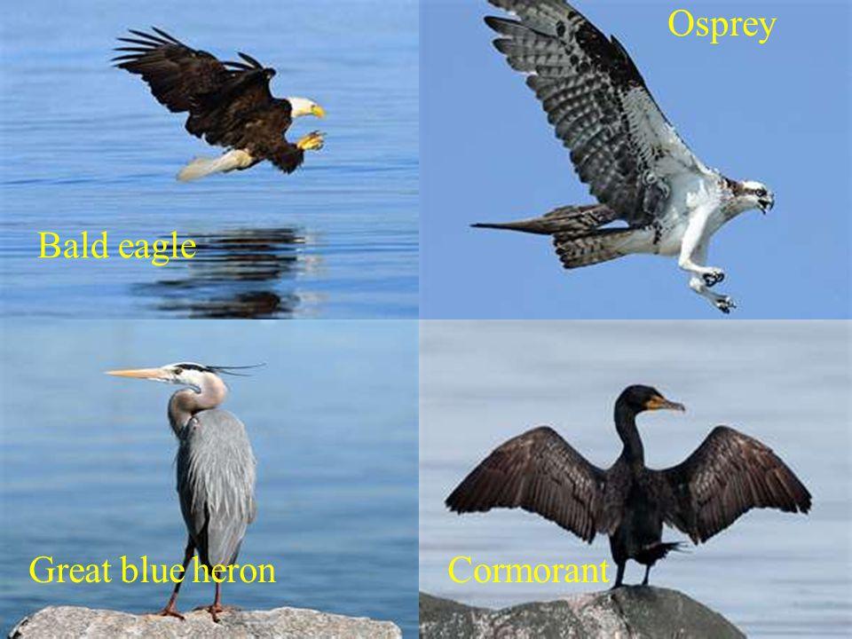 Bald eagle Osprey Great blue heronCormorant