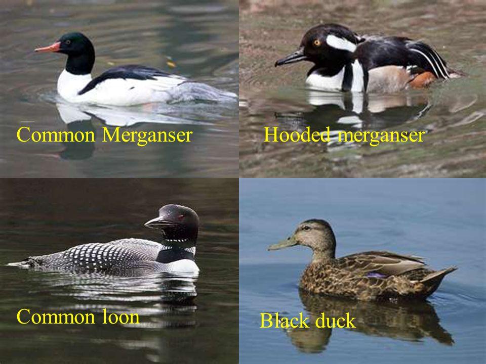 Common MerganserHooded merganser Common loon Black duck
