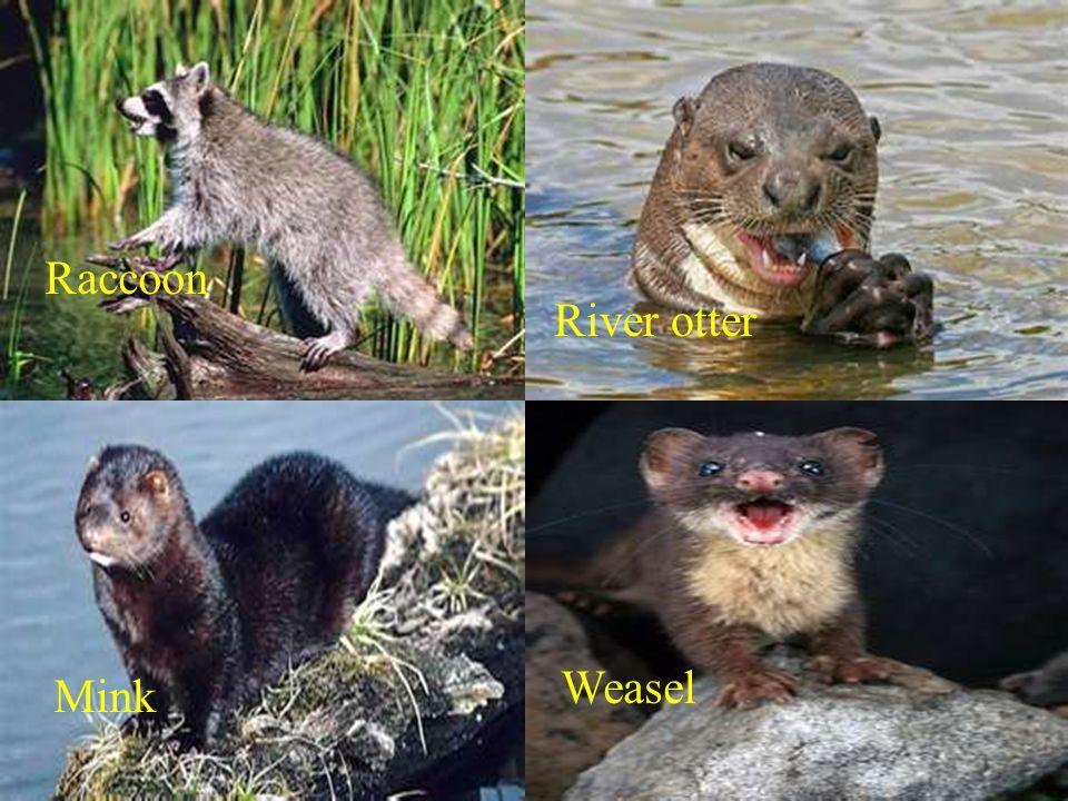 Raccoon River otter Mink Weasel
