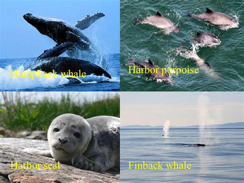 Humpback whale Harbor porpoise Harbor sealFinback whale