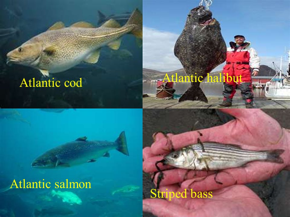 Atlantic cod Atlantic halibut Atlantic salmon Striped bass