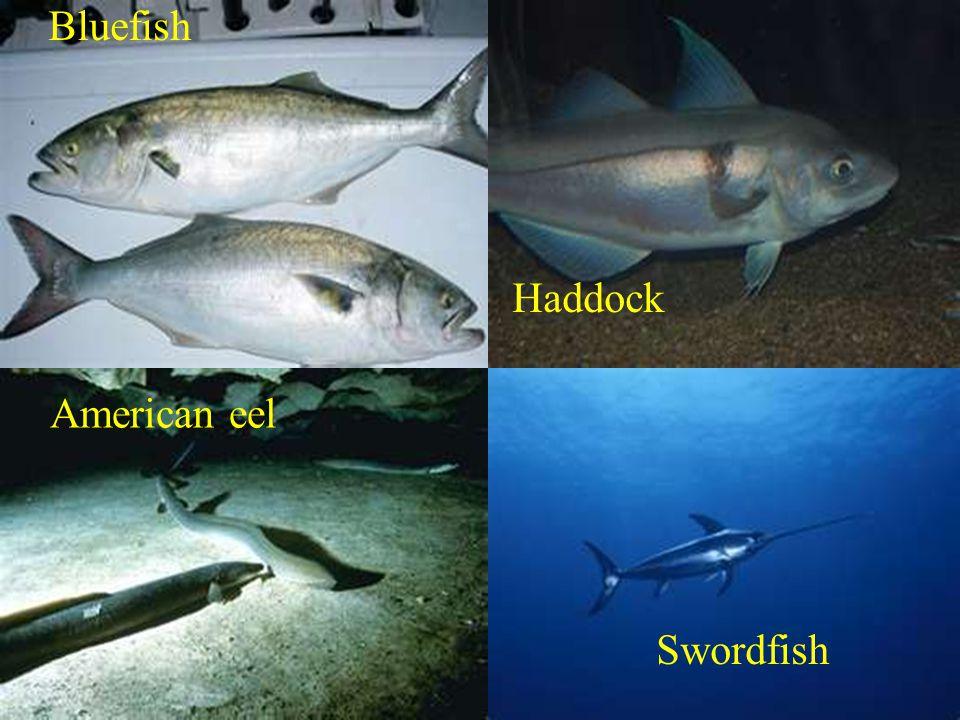 Bluefish Haddock American eel Swordfish