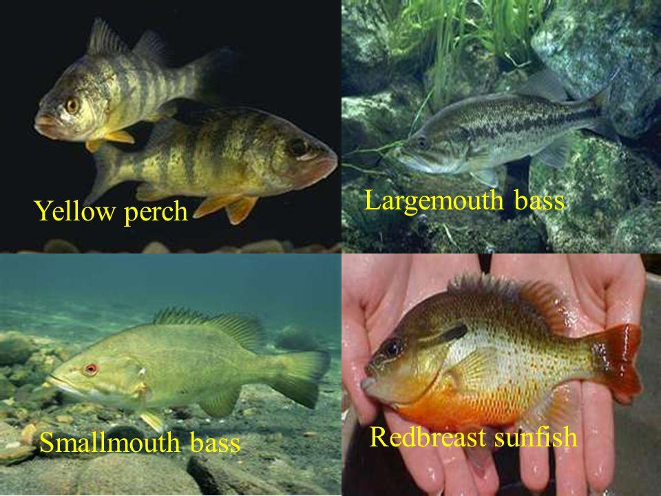 Yellow perch Largemouth bass Smallmouth bass Redbreast sunfish