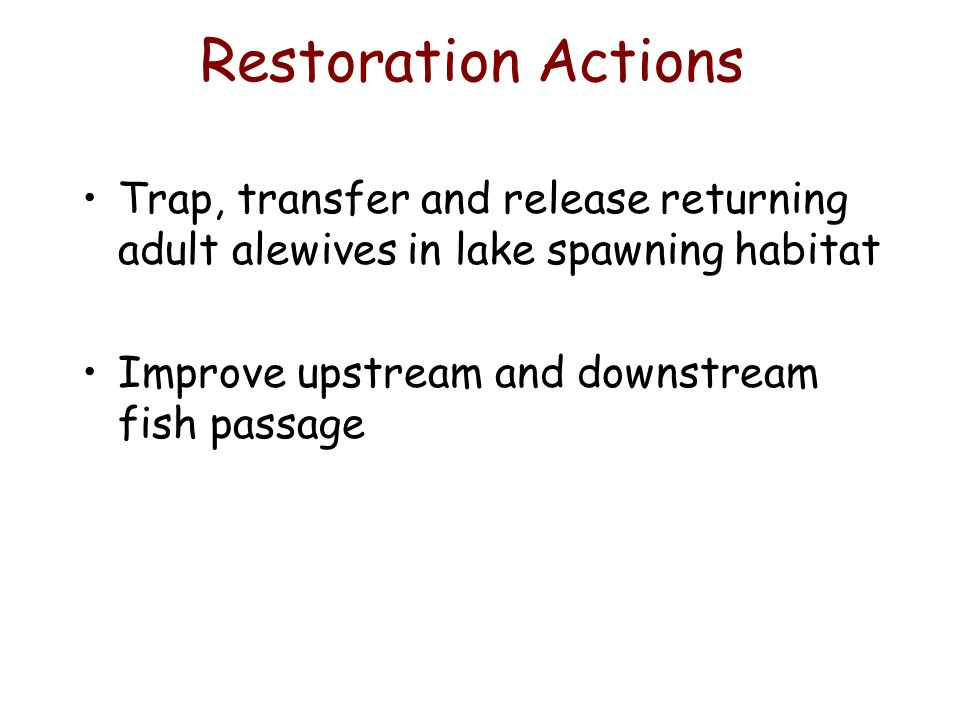 Restoration Actions Trap, transfer and release returning adult alewives in lake spawning habitat Improve upstream and downstream fish passage