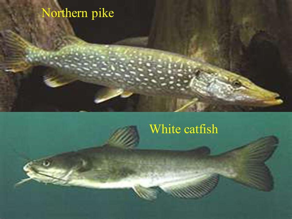 Northern pike White catfish