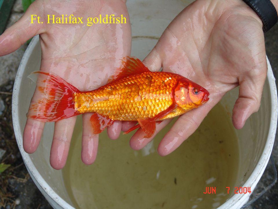 Ft. Halifax goldfish