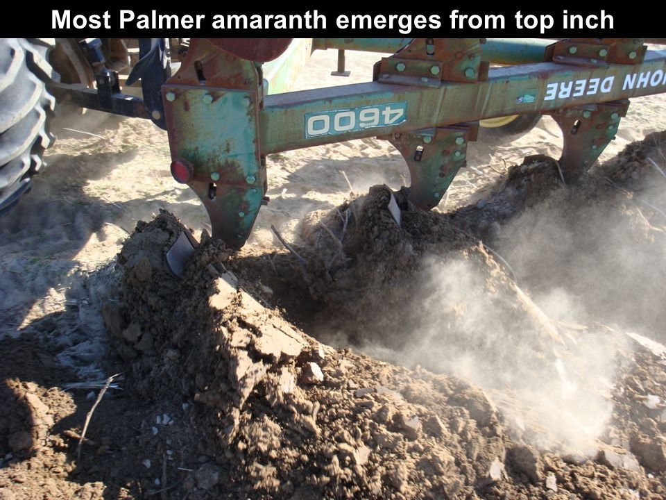Most Palmer amaranth emerges from top inch