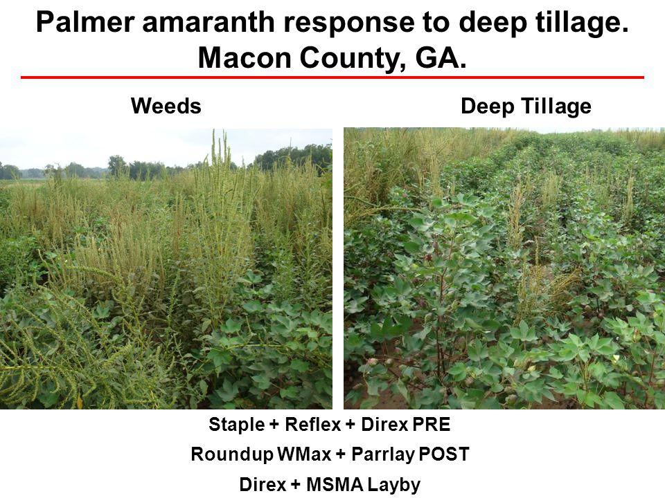 Staple + Reflex + Direx PRE Roundup WMax + Parrlay POST Direx + MSMA Layby WeedsDeep Tillage Palmer amaranth response to deep tillage. Macon County, G