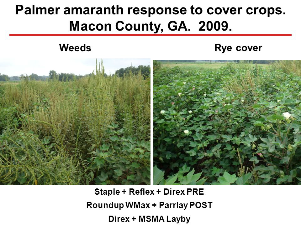 Staple + Reflex + Direx PRE Roundup WMax + Parrlay POST Direx + MSMA Layby Weeds Rye cover Palmer amaranth response to cover crops. Macon County, GA.