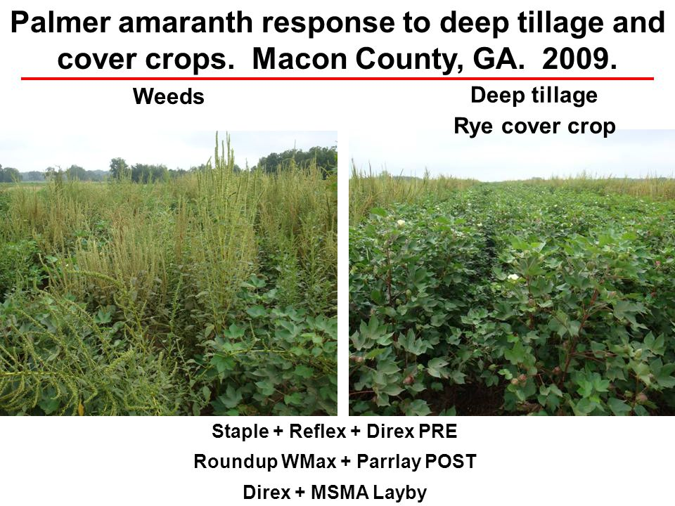 Staple + Reflex + Direx PRE Roundup WMax + Parrlay POST Direx + MSMA Layby Weeds Palmer amaranth response to deep tillage and cover crops. Macon Count