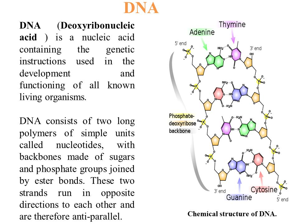 DNA (Deoxyribonucleic acid ) is a nucleic acid containing the genetic instructions used in the development and functioning of all known living organis