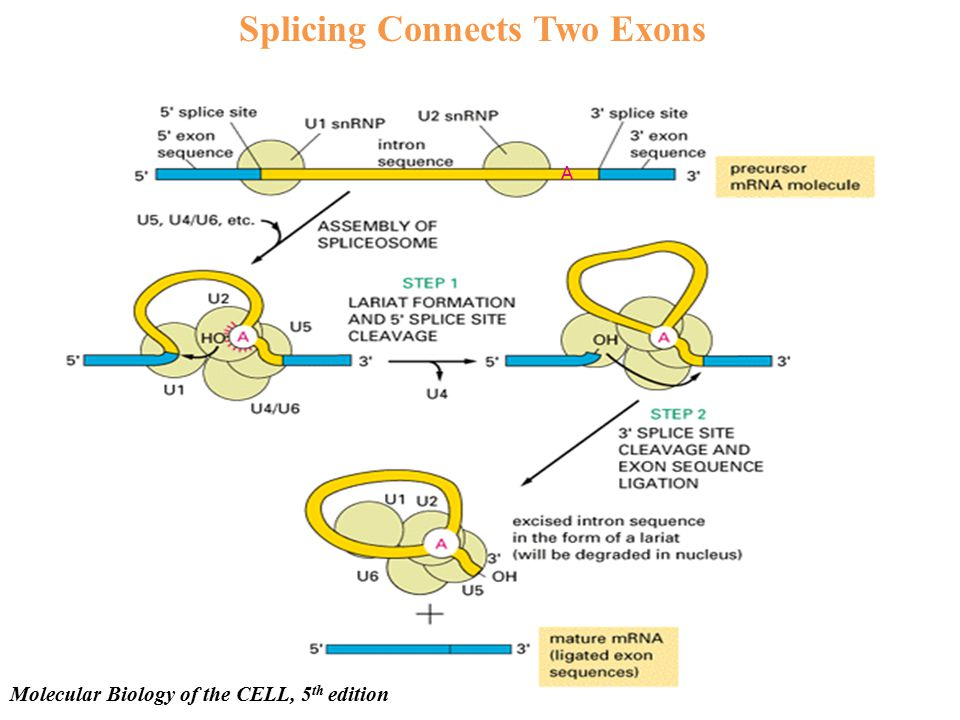 Splicing Connects Two Exons Molecular Biology of the CELL, 5 th edition A