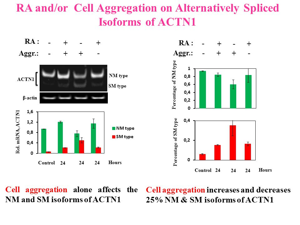RA and/or Cell Aggregation on Alternatively Spliced Isoforms of ACTN1 SM type NM type ACTN1 RA : + - + - Aggr.: ++ - - β-actin Rel. mRNA, ACTN1 24 Hou