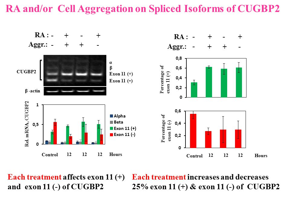 RA and/or Cell Aggregation on Spliced Isoforms of CUGBP2 Each treatment affects exon 11 (+) and exon 11 (-) of CUGBP2 β -actin CUGBP2 β α Exon 11 ( -