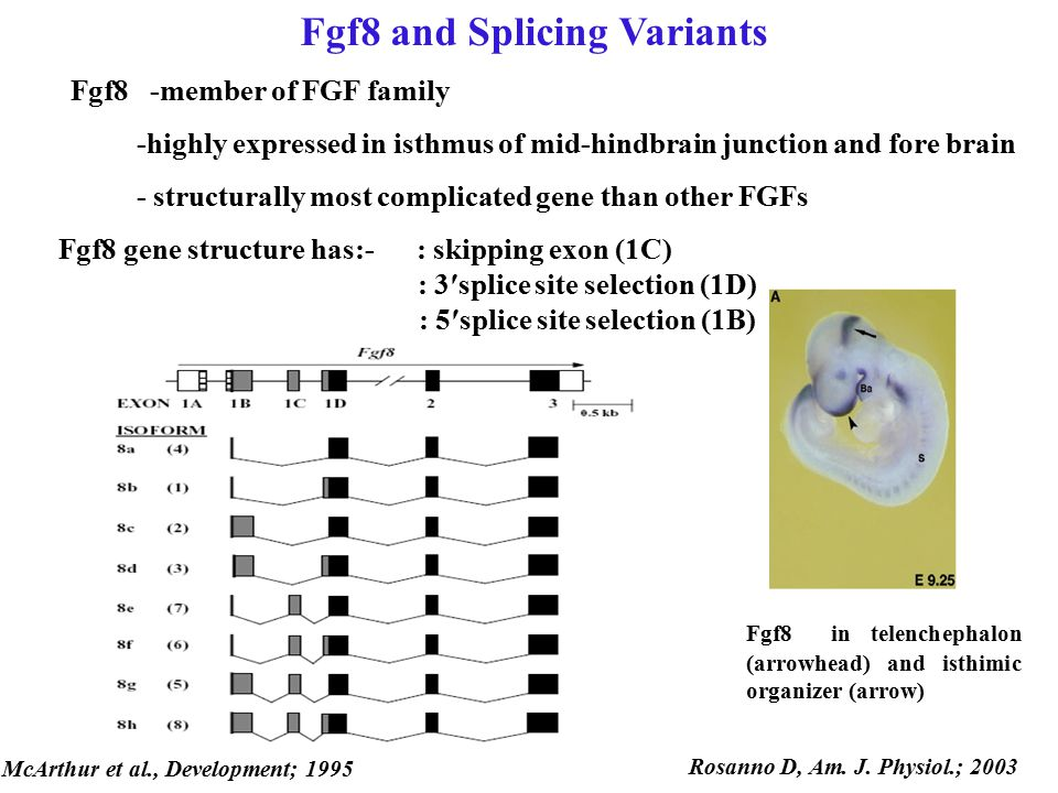 Fgf8 and Splicing Variants Fgf8 -member of FGF family -highly expressed in isthmus of mid-hindbrain junction and fore brain - structurally most compli