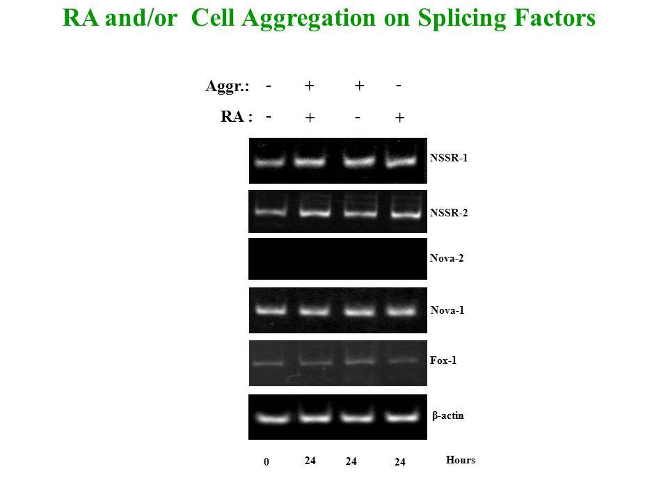 24 Hours 0 Aggr.: RA : + + - + + - - - NSSR-1 β-actin Nova-2 Nova-1 Fox-1 NSSR-2 RA and/or Cell Aggregation on Splicing Factors