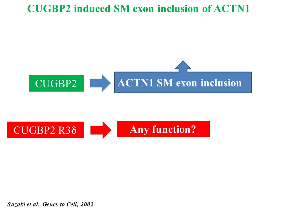 Suzuki et al., Genes to Cell; 2002 CUGBP2 ACTN1 SM exon inclusion CUGBP2 R3δ Any function? CUGBP2 induced SM exon inclusion of ACTN1