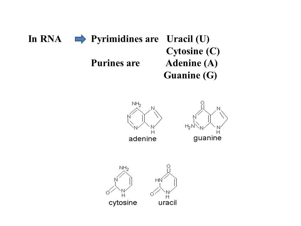 In RNA Pyrimidines are Uracil (U) Cytosine (C) Purines are Adenine (A) Guanine (G)