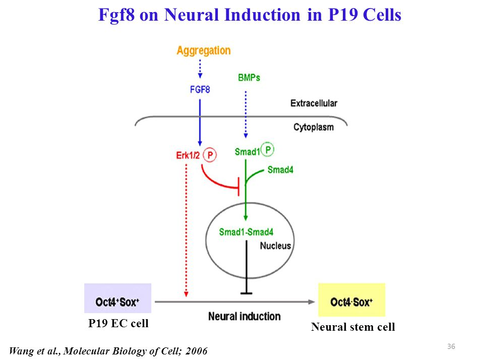 Fgf8 on Neural Induction in P19 Cells Wang et al., Molecular Biology of Cell; 2006 P19 EC cell Neural stem cell 36