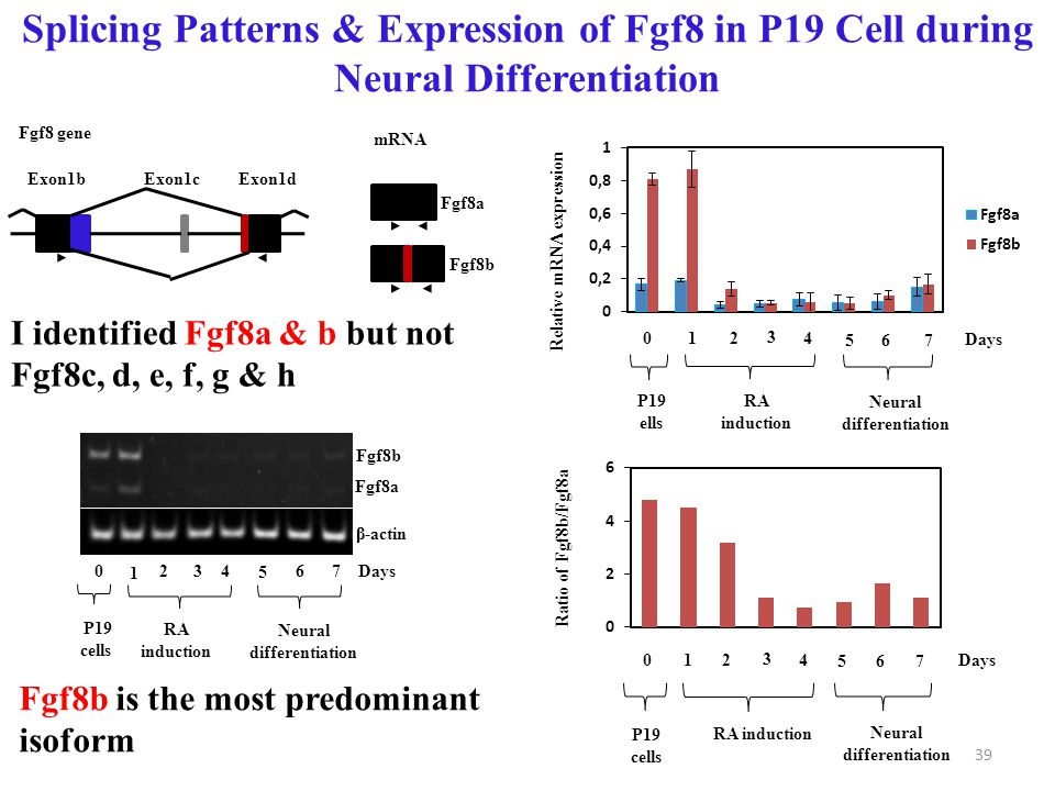 Fgf8b is the most predominant isoform Splicing Patterns & Expression of Fgf8 in P19 Cell during Neural Differentiation 0 1 24 5 Days 3 67 Ratio of Fgf8b/Fgf8a Neural differentiation RA induction P19 cells Relative mRNA expression 0 1 24 5 Days 3 67 Neural differentiation RA induction P19 ells Fgf8b Fgf8a 0 1 2 4 5 Days 3 67 β-actin RA induction Neural differentiation P19 cells Fgf8a Fgf8b Exon1b Exon1c Exon1d Fgf8 gene mRNA I identified Fgf8a & b but not Fgf8c, d, e, f, g & h 39