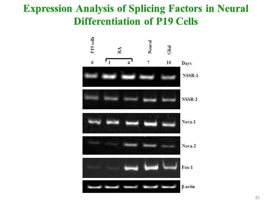 P19 cells 01 4 7 10 RA Glial Neural β-actin NSSR-1 Days Nova-1 Nova-2 Fox-1 NSSR-2 Expression Analysis of Splicing Factors in Neural Differentiation of P19 Cells 45