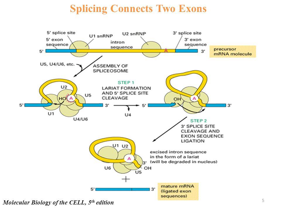24 Hours 0 Aggr.: RA : + + - + + - - - NSSR-1 β-actin Nova-2 Nova-1 Fox-1 NSSR-2 RA and/or Cell Aggregation on Splicing Factors 46