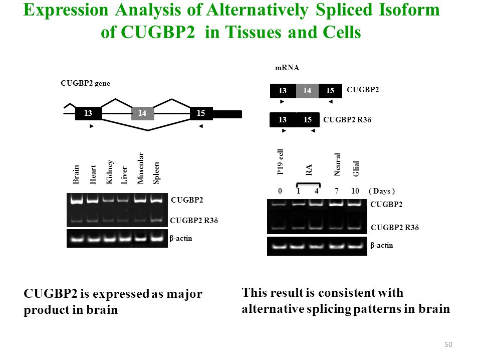 Expression Analysis of Alternatively Spliced Isoform of CUGBP2 in Tissues and Cells CUGBP2 is expressed as major product in brain BrainHeartKidneyLiverMuscularSpleen CUGBP2 CUGBP2 R3δ β-actin CUGBP2 CUGBP2 R3δ 131415 1315 mRNA CUGBP2 gene 131415 ( Days ) CUGBP2 R3δ CUGBP2 β-actin 01 4 710 RA Glial Neural P19 cell This result is consistent with alternative splicing patterns in brain 50