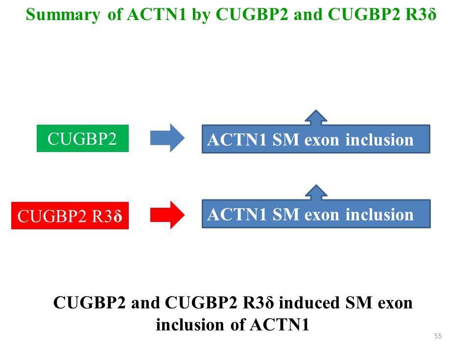 CUGBP2 and CUGBP2 R3δ induced SM exon inclusion of ACTN1 Summary of ACTN1 by CUGBP2 and CUGBP2 R3δ CUGBP2 ACTN1 SM exon inclusion CUGBP2 R3δ ACTN1 SM exon inclusion 55