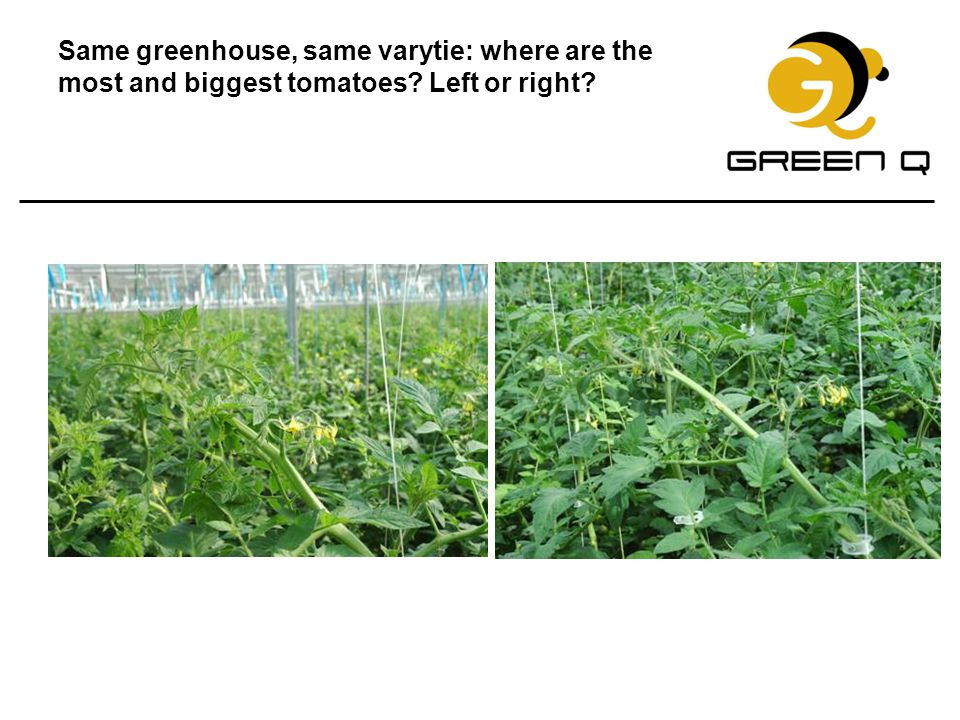 Same greenhouse, same varytie: where are the most and biggest tomatoes? Left or right?